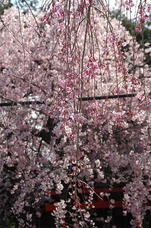 咲き始めた八重紅枝垂れと紅枝垂れ・水火天満宮