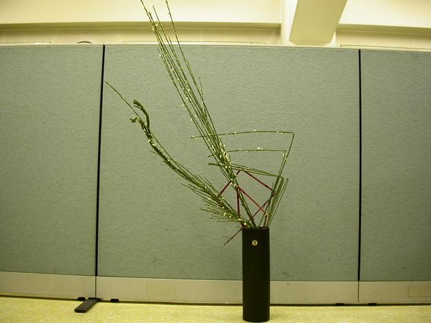 石化エニシダ、サンゴ樹