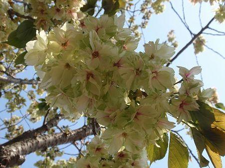 鬱金桜 4月26日
