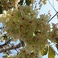 Photos: 鬱金桜 4月26日