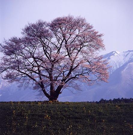 09小岩井の一本桜1
