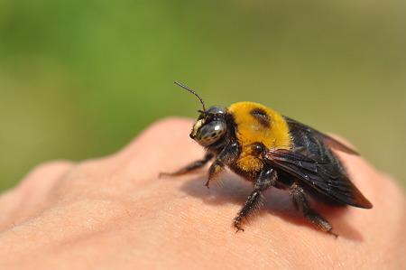 クマバチの画像 p1_7