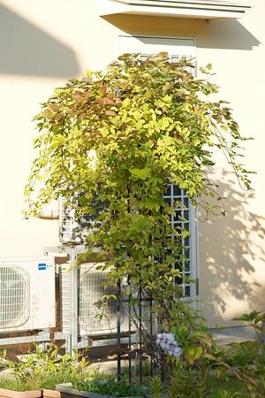あけびの木