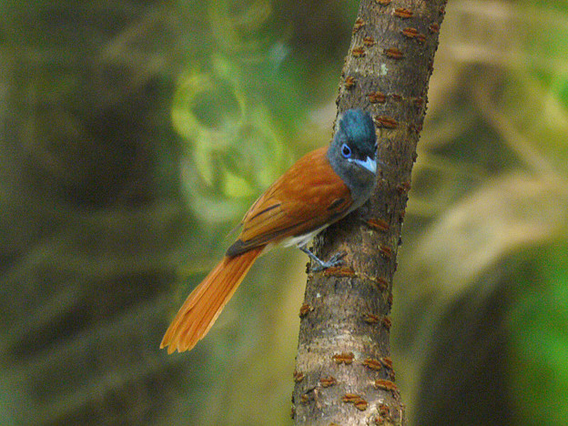 Photos: カワリサンコウチョウ(Asian Paradise-flycatcher) P1070676_R