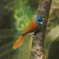 Photos: カワリサンコウチョウ(Asian Paradise-flycatcher) P1070676_R