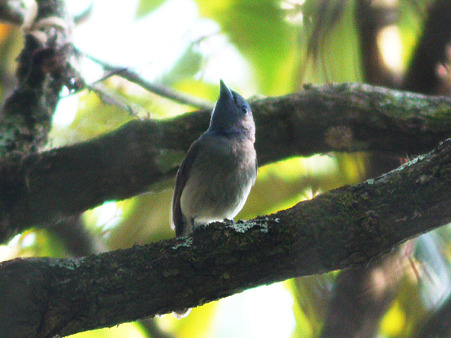 クロエリヒタキ(Black-naped Monarch) P1100716_R