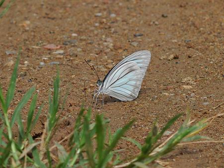 美しい蝶 DSC_3723_R