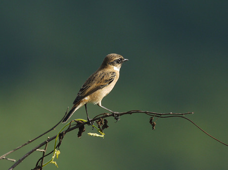 ノビタキ(Common Stonechat) P1240865_R