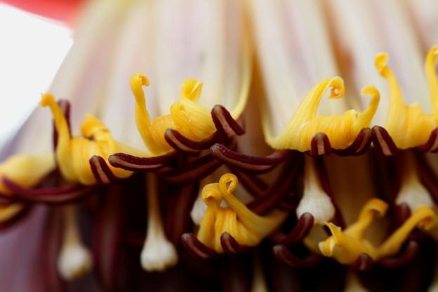 バナナ【甘蕉:芭蕉実】の花-B