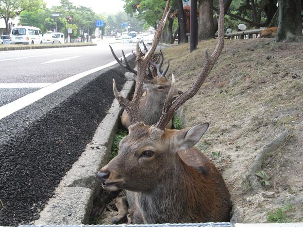 くつろぐ鹿