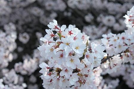 2010.04.06 桜(1/5)