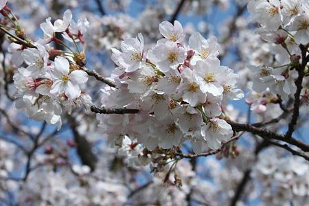 2010.04.06 桜(3/5)