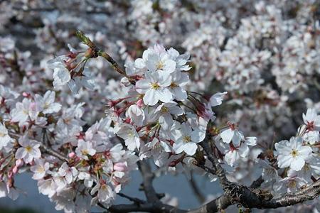2010.04.06 桜(5/5)