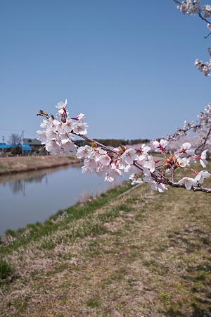 Cherry_blossom04212011dp1-05