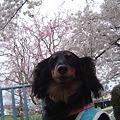 Photos: チョコちゃん 4月 005