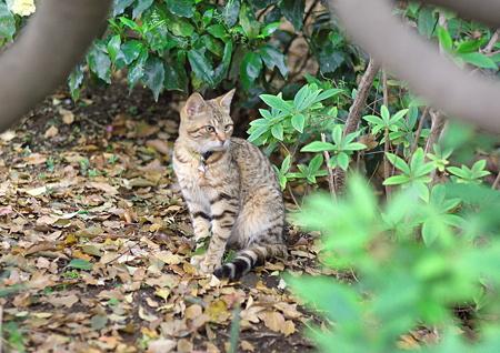 上野公園のキジトラさん