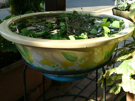 季節物の睡蓮鉢が半額になってたのでゲット。睡蓮も季節がずれたので...