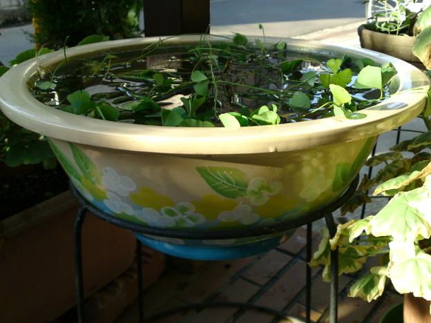 写真: 季節物の睡蓮鉢が半額になってたのでゲット。睡蓮も季節がずれたので...