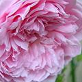 薔薇・バラ・ローズ・rose大好き