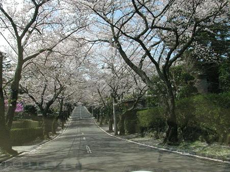 伊豆高原 桜並木