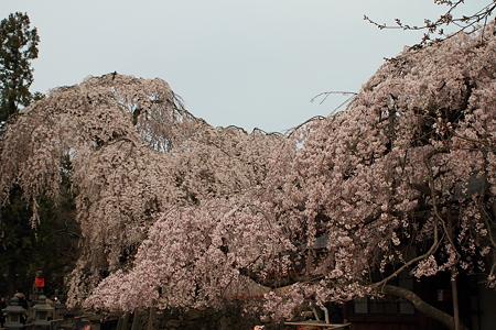 奈良・氷室神社 枝垂れ桜