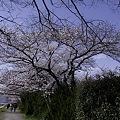 Photos: 鴨川、桜まみれ09