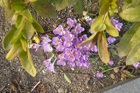 そっと咲くクロッカス…