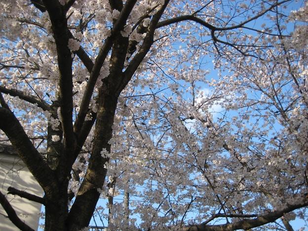 写真: 2010zuisin_sakura2