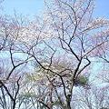 Photos: オッズ掲示板裏の五分咲き桜