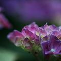 Photos: 紫陽花はスポットライトを浴びて・・・輝く♪~♪