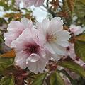 我が家の八重桜1