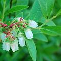 写真: Low Bush Blueberry 5-25-10
