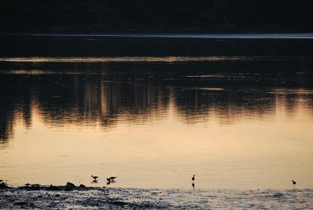 Photos: Sanderlings at Sunset
