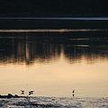 Sanderlings at Sunset