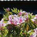 ツツジが咲いています2
