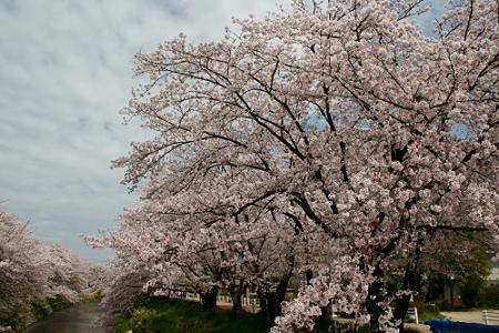 岩倉 五条川の桜