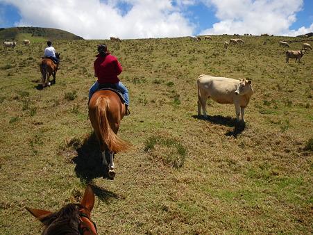 牛の群れの間を通る