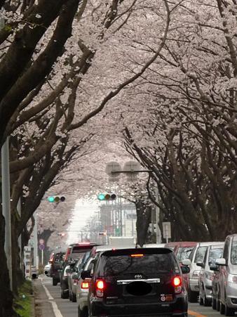 100404-海軍道路の桜 (25)