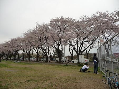 100404-海軍道路の桜 (36)