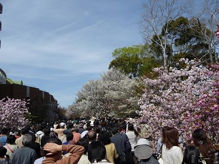 110417-造幣局 桜の通り抜け (51)