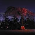 Photos: 夜の枝垂桜
