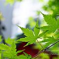 Photos: 緑 NEX-5 FD50 F1.4