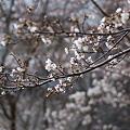 春なのに・・・三分咲き