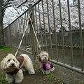 写真: 110410 くー&みらのさくら散歩 2