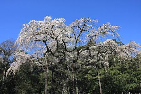 2010.03.30 小田原 長興山 枝垂桜-1