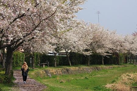 2010.04.06 和泉川 さくら