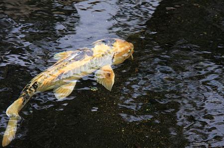 2010.04.24 和泉川  鯉