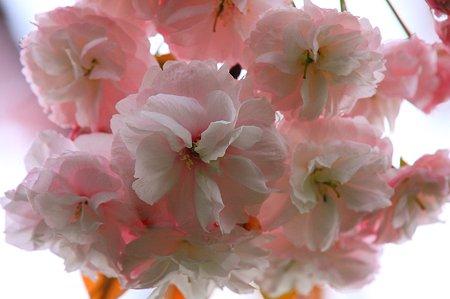 2010.04.24 和泉川 八重桜