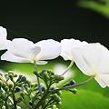 Photos: 2010.06.13 追分市民の森 紫陽花
