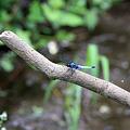 写真: 2010.07.02 和泉川 オオシオカラトンボ